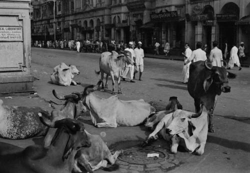 Cattle Relaxing in Bombay - 1930s.jpg